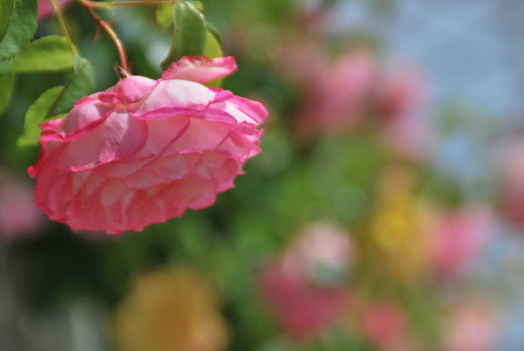 Rose am Rhein