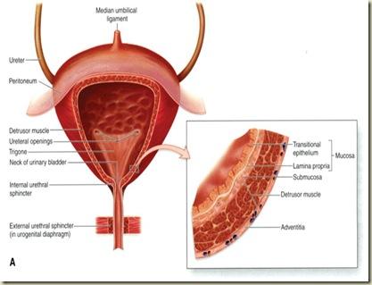 Anatomi Vesica Urinaria1