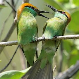 Green Bee-eaters by Sankaran Balaji - Animals Birds ( animals, bird of prey, nature, green bee-eater, birds )