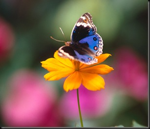 All a Flutter, Precis Orythya Butterfly
