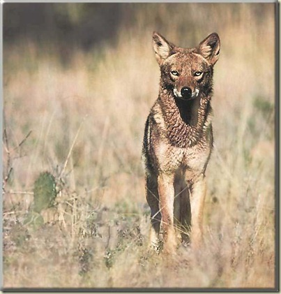 Coyote_117-Portrait_on_desert_bush
