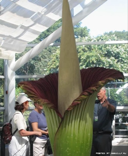 Titan arum also known corpse flower