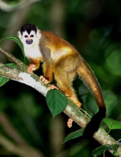 Squirrel Monkey - Most Expensive(funniest area)