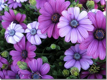 Amazing_Purple_Flowers_15