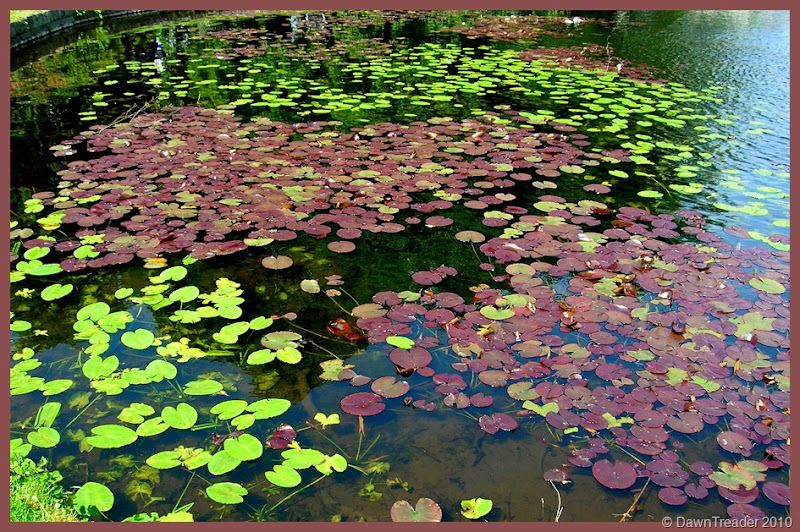 2010 06 water lily leaves frame