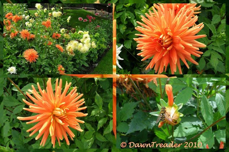 2010-08-23 Orange Dahlia 2