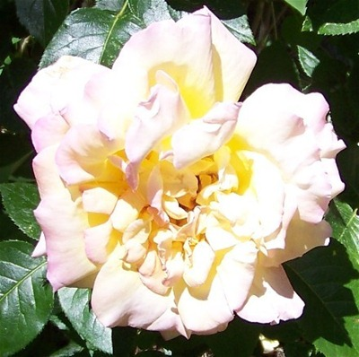 Pink Saturday - Open Pink and Yellow Rose 2009 (440x438)