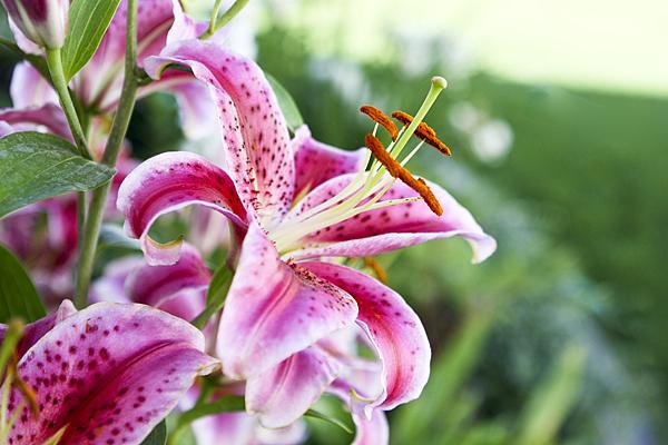 vw garden oriental lilies from late july, Beautiful flower