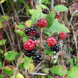 Blackberries by Jennifer Calleja - Food & Drink Fruits & Vegetables