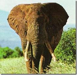 Elefanteafricano