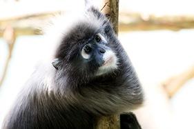 """""""Outbreak"""" monkey"""