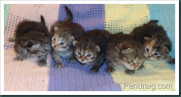Photo of Siberian kittens at two weeks
