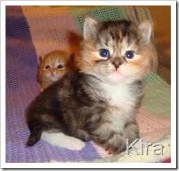 Image of black torbie siberian kitten.