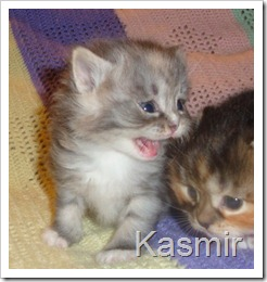 Photo of blue smoke tortie and white Siberian kitten.