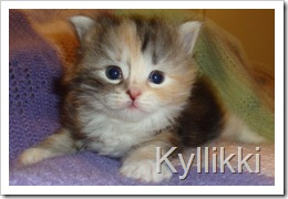 Photo of silver calico Siberian kitten.