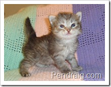 image of breeder quality siberian kitten.