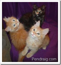 Image of red Siberian kittens and tortie siberian kitten.
