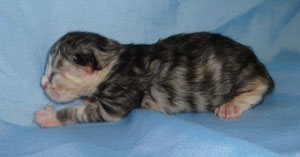 Silver torbie Siberian kitten breeder potential we believe.