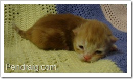 Image of red classic Siberian kitten.