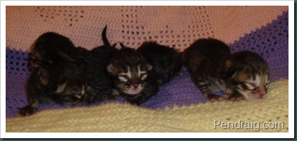 Image of Traditional Siberian Kittens at Pendraig.