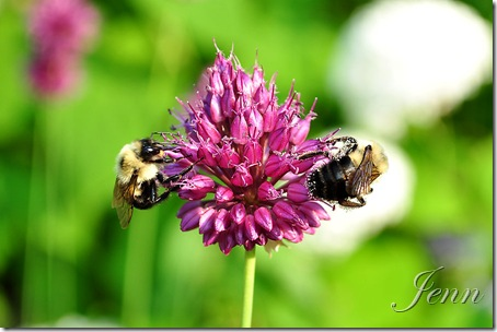allium and bee-3