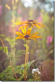 black eyed susan-3
