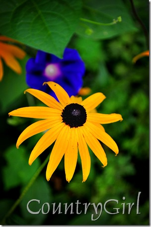 black eyed susan-1