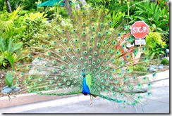 This peacock followed us around the zoo