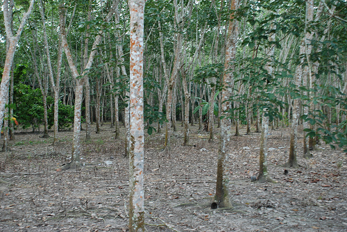 >Rubber production to grow 8% this year rubbermarketnews 001 036
