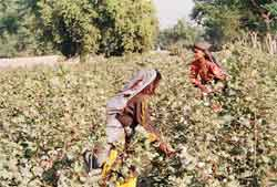 Low MSP: Indian cotton farmers prefer private traders to govt.