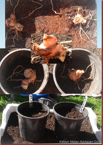 growing galangal