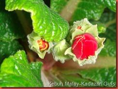 polyanthus (4)