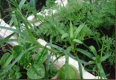carnation cuttings