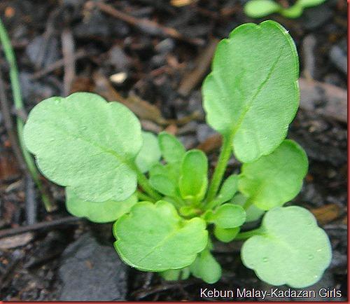 viola seedling