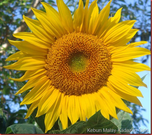 Sunflower mamoth (1)