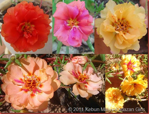 Portulaca collection
