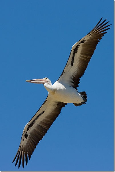 Australian_pelican_in_flight