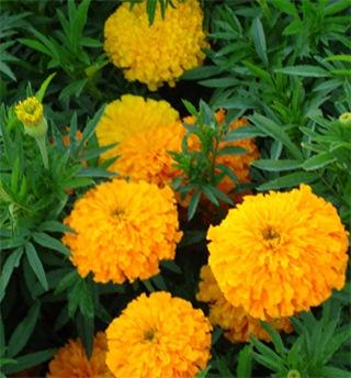 marigold-herb