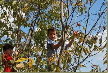 pickin' persimmons