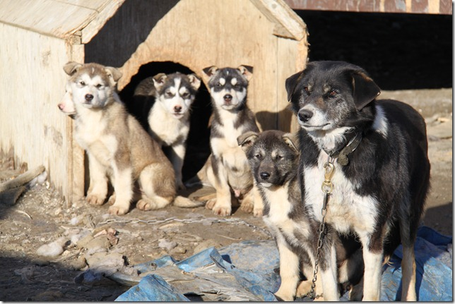 Next Years Sled Dogs?