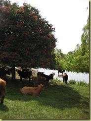 The butchers cows enjoying the river