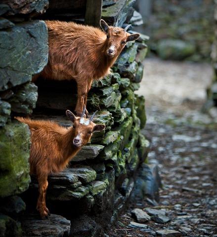 [double the goats[5].jpg]