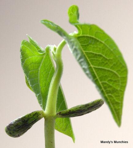[13-03 French bean leaves[1].jpg]