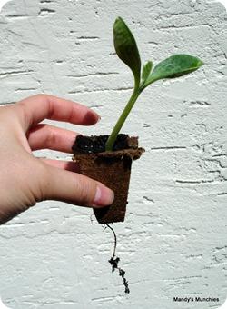 Squashpreplanting