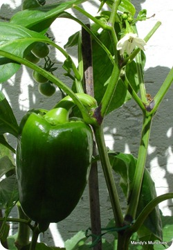 Pepper29Aug