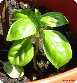 Basil in brown pot 9 Aug