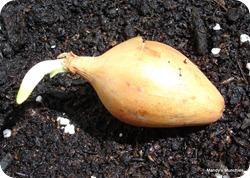 Onionpreplanting7