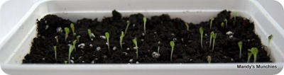 Lettuce 4 May 09