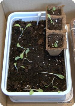 Lettuce 10 May
