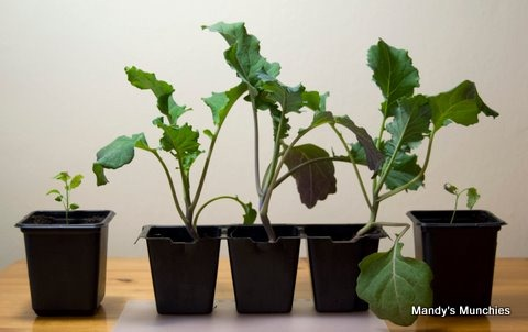 [26-04 New Sprouting Broccoli[5].jpg]